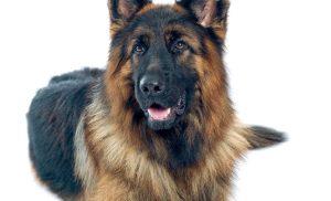 Pastore Tedesco: scegli il tuo cucciolo da Casa Rita